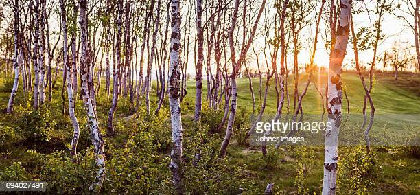 Birch woods at sunset