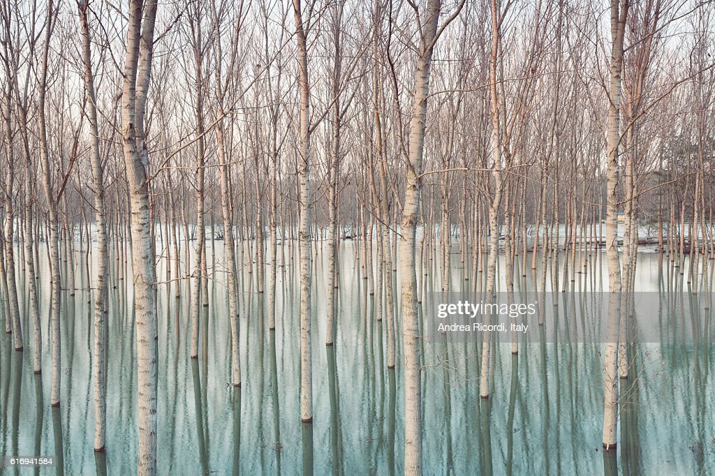 Birches in flooded countryside : Stock Photo
