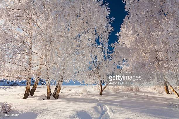 birches in hoarfrost against the blue sky - pinaceae stock pictures, royalty-free photos & images