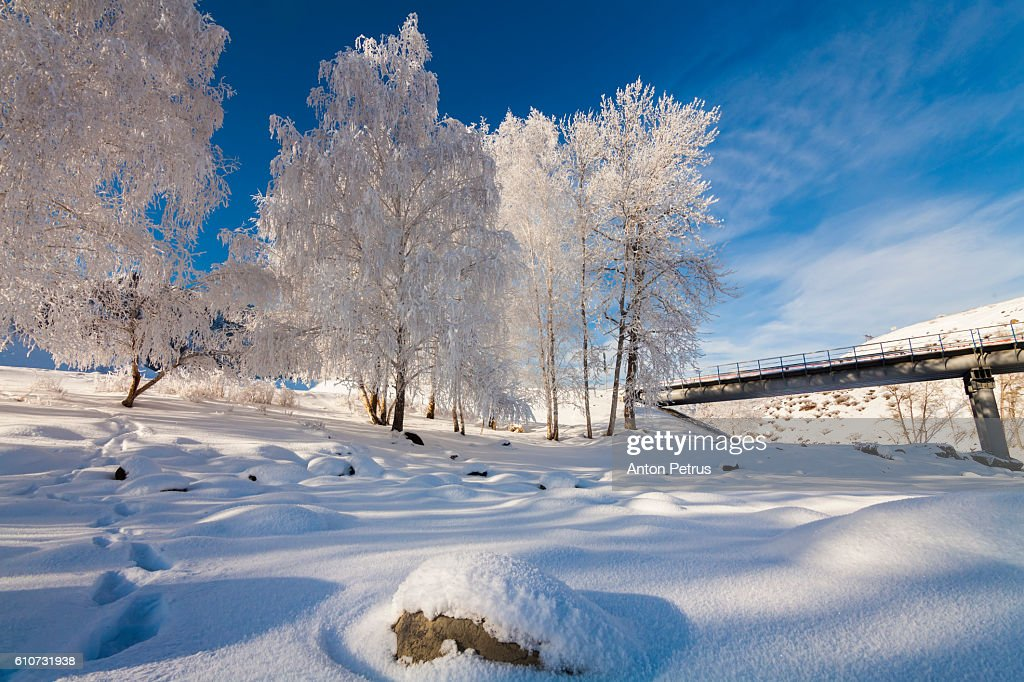 Birches in hoarfrost against the blue sky : Stock-Foto
