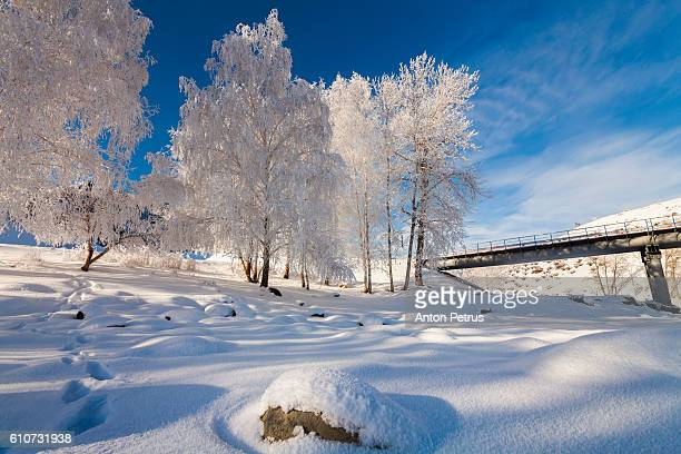 Birches in hoarfrost against the blue sky