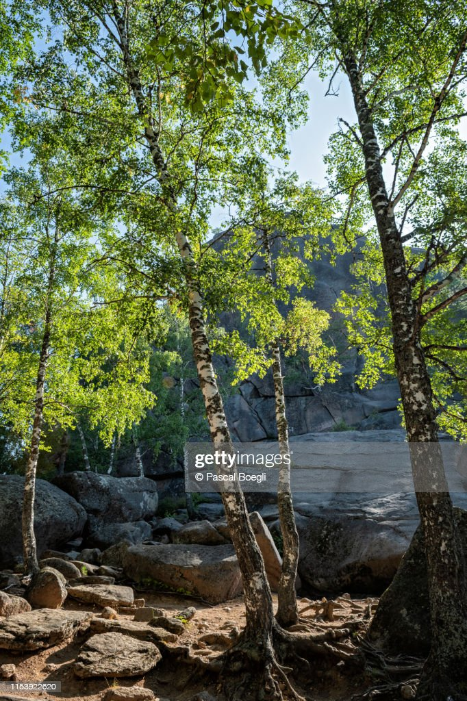 Birches near the first pillar of the Stolby Nature Reserve, Siberia, Russia : Stock Photo