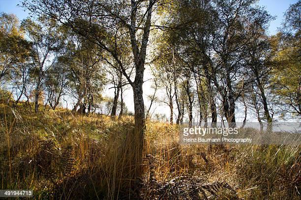 birches trees in autumn - heinz baumann photography stock-fotos und bilder