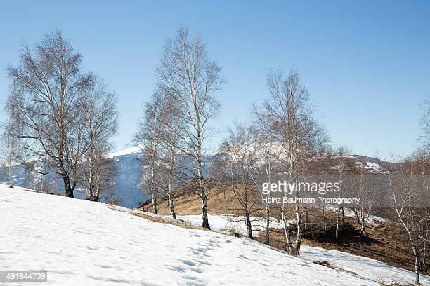 birches trees in winter - heinz baumann photography stock-fotos und bilder