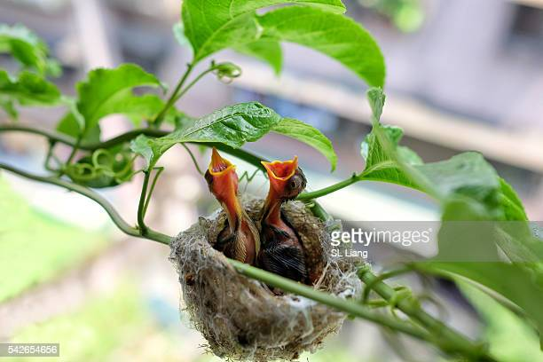 bird about to feeding young bird - birds nest stock photos and pictures