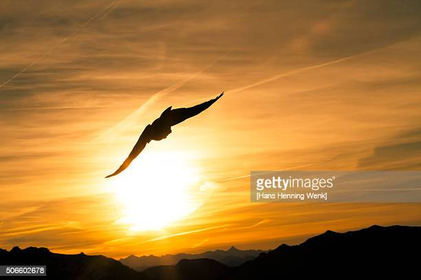 Bird above the Bavarian alps back lit by setting sun