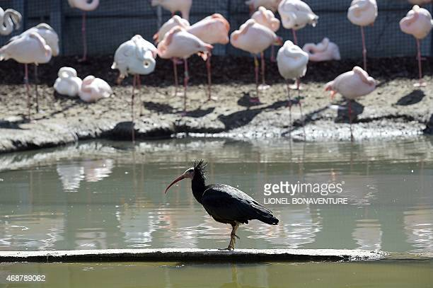 A bird and flamingos are seen at the Vincennes zoo in Paris on April 6 2015 AFP PHOTO / LIONEL BONAVENTURE