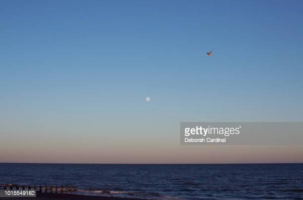 bird and moon over littlehampton - blue cardinal bird stock photos and pictures