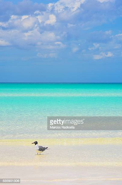 bird at cayo coco, cuba. - radicella stock photos and pictures