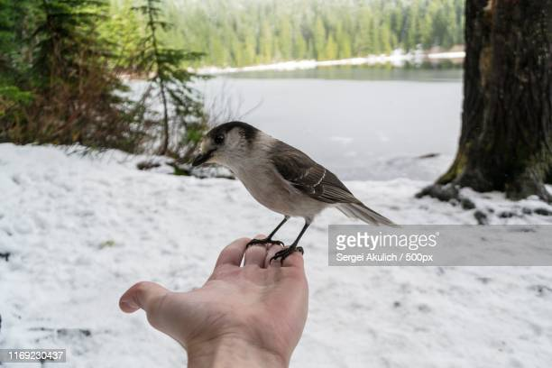 bird at olallie lake - sergei stock pictures, royalty-free photos & images