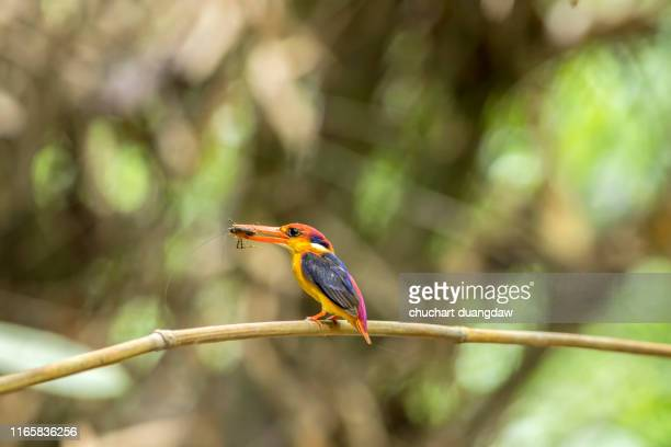 bird, beautiful bird, black backed kingfisher (oriental dwarf kingfisher) or  three-toed kingfisher - black dwarf stock pictures, royalty-free photos & images