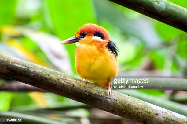 bird, beautiful bird, black backed kingfisher (oriental dwarf kingfisher) - black dwarf stock pictures, royalty-free photos & images
