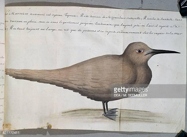Bird called Foyroux Cape Frio Brazil watercolour from the log book by Jacques Gouin de Beauchesne captain of the Compagnie royale de la Mer du Sud...