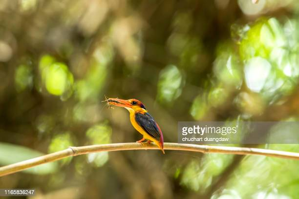 bird, colorful birds, black backed kingfisher (oriental dwarf kingfisher) or  three-toed kingfisher - black dwarf stock pictures, royalty-free photos & images
