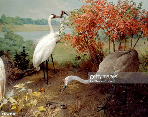 Bird diorama depicting Sandhill and Whooping Cranes in Hall 20 of the Field Museum 1942 American Cranes White Whooping Crane Grey Sandhill Crane and...