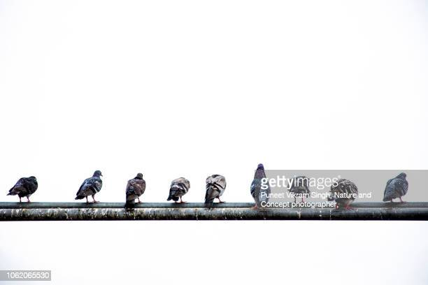 bird droppings -pigeons sitting in a row on a water pipe - perching stock pictures, royalty-free photos & images