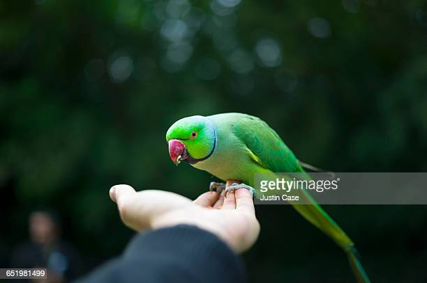 bird eating from hand in hyde park - ワカケホンセイインコ ストックフォトと画像