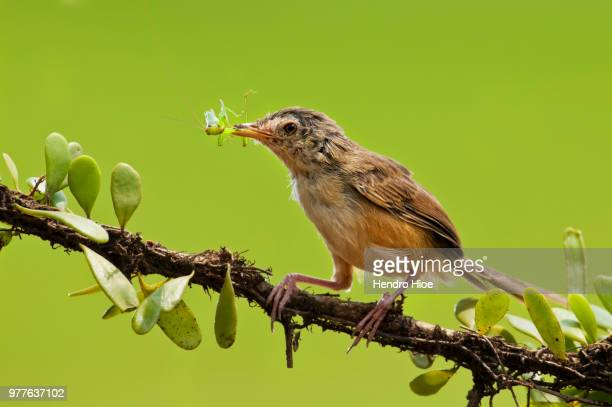 bird eating grasshopper, indonesia - grasshopper stock pictures, royalty-free photos & images