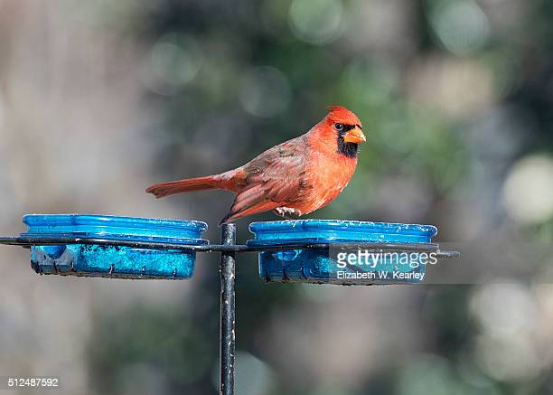 bird eating on a colorful blue feeder - blue cardinal bird stock pictures, royalty-free photos & images