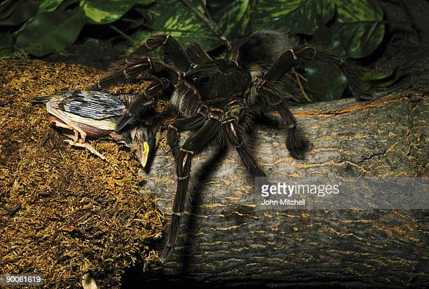 Worlds Best Goliath Birdeater Stock Pictures Photos And