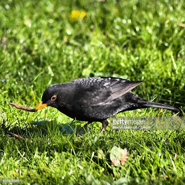 bird eating worm - merel stockfoto's en -beelden