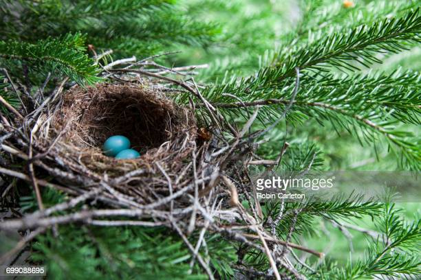 bird eggs in a nest in glacier national park, montana. - bird's nest stock photos and pictures