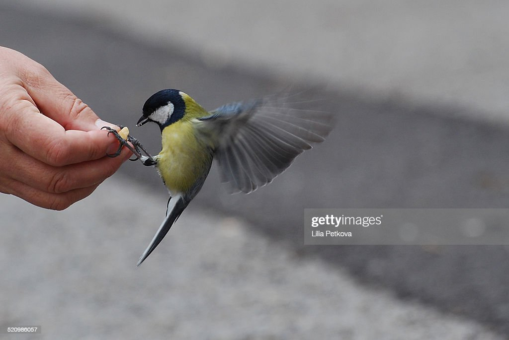Bird fed by hand : Stock Photo
