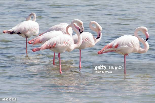 bird flamingos - flamingo stock pictures, royalty-free photos & images