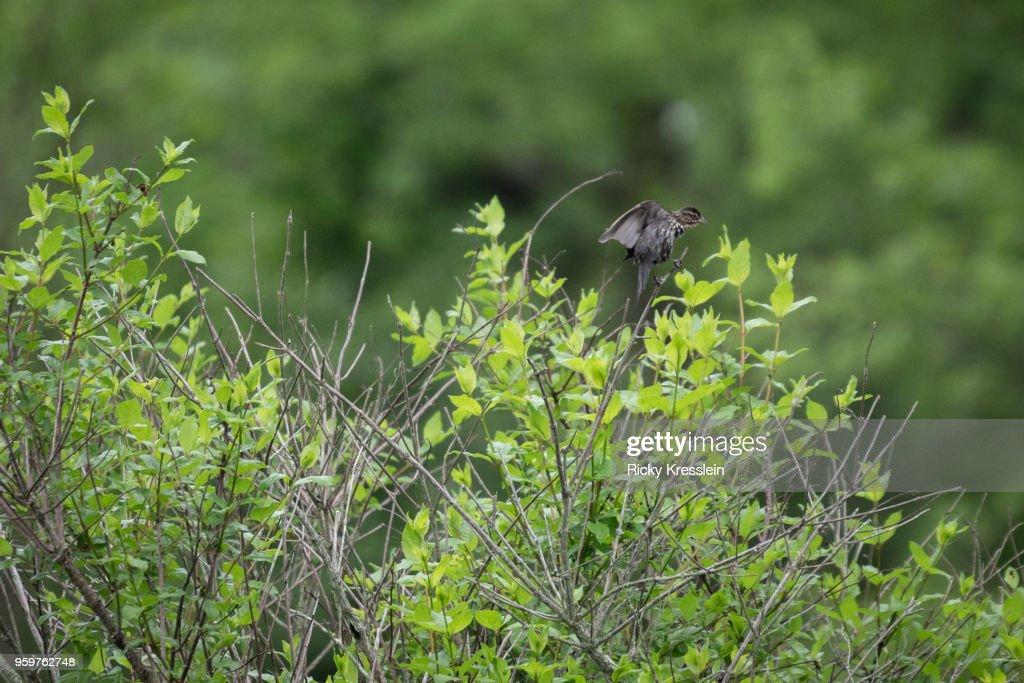 Bird Flapping Wings : Stock-Foto