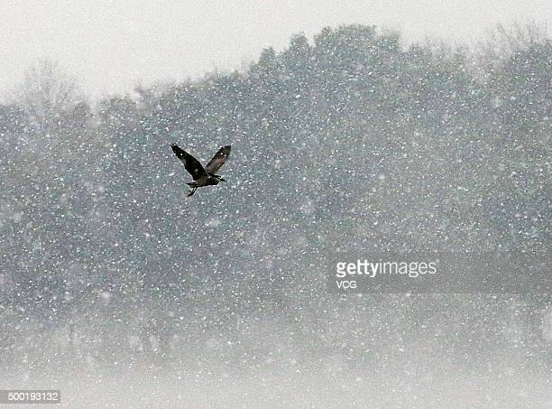 A bird flies in the snow above the West Lake on December 5 2015 in Hangzhou Zhejiang Province of China Hangzhou welcomes the first snow on Saturday