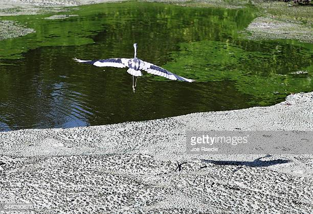 A bird flies over awful smelling algae near the Central Marine boat dock along the St Lucie River on July 11 2016 in Stuart Florida The algae which...