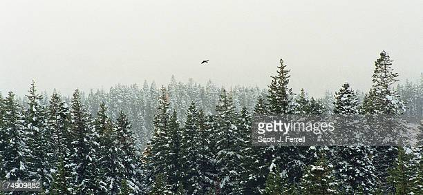FORESTA bird flies over the trees in Mt Hood National Forest