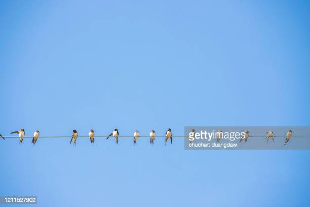 bird, flock of swallows, perch on a power line - perching stock pictures, royalty-free photos & images