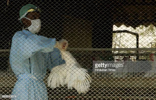 Bird Flu Chicken Government worker kills chicken by strangling for the Burial at Navapur in Nandurbar District of North Maharashtra on Monday.