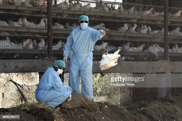 Bird Flu Chicken Government worker throws dead chicken in the burrial pit at Navapur in Nandurbar District of North Maharashtra on Monday.