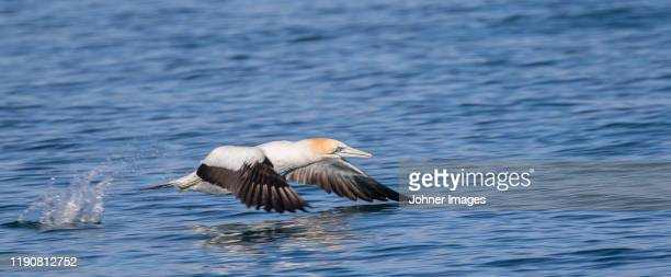 bird flying above water - zeevogel stockfoto's en -beelden