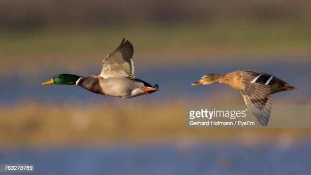 bird flying against blurred background - duck bird stock photos and pictures
