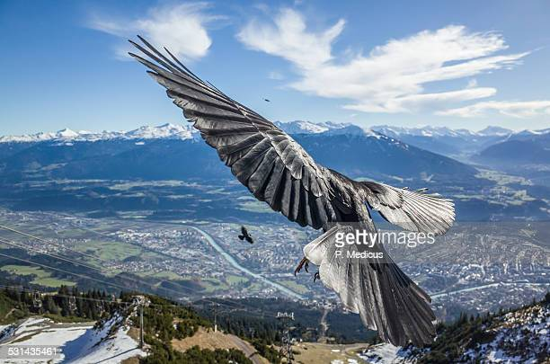 bird flying by, above innsbruck - spread wings stock pictures, royalty-free photos & images