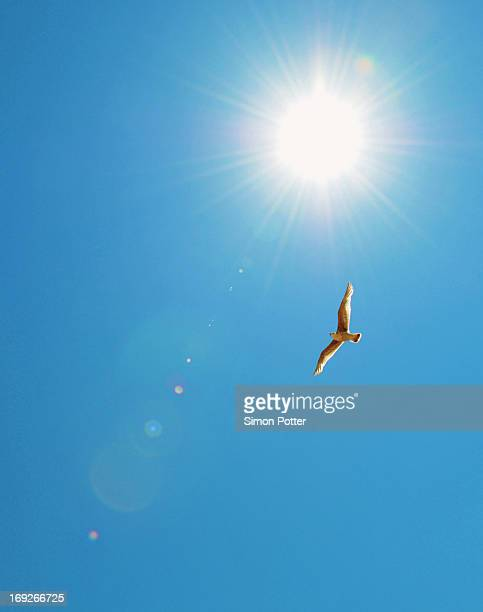 bird flying in blue sky - clear sky stock pictures, royalty-free photos & images