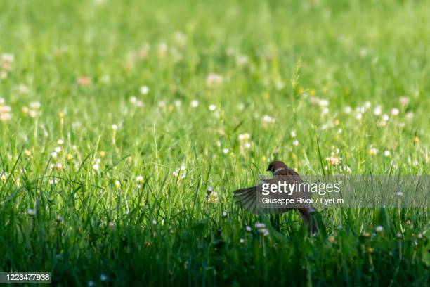 bird flying over a field - nightingale stock pictures, royalty-free photos & images