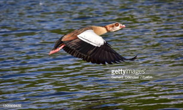 bird flying over lake - eagles london stock pictures, royalty-free photos & images