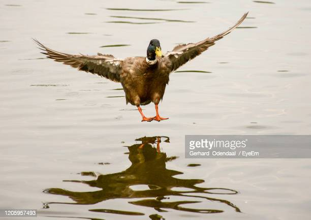 bird flying over lake - animal wing stock pictures, royalty-free photos & images