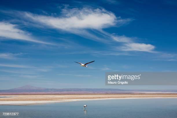 bird flying over lake, san pedro de atacama, chile - wispy stock photos and pictures