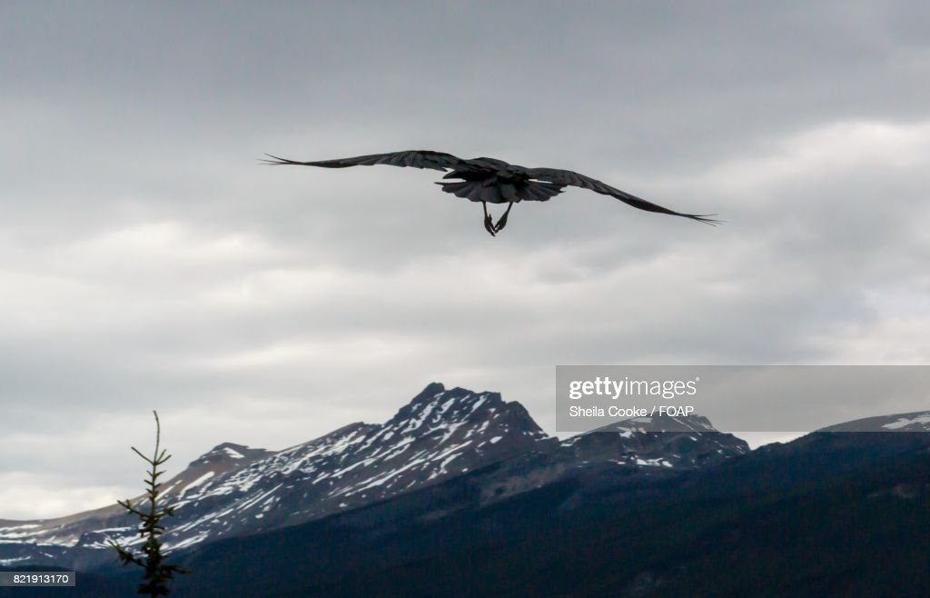 Bird flying over mountain in winter : Stock Photo