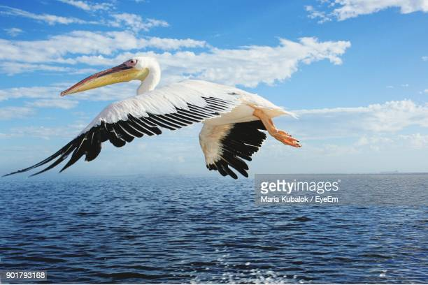 bird flying over sea against sky - pelicans stock pictures, royalty-free photos & images