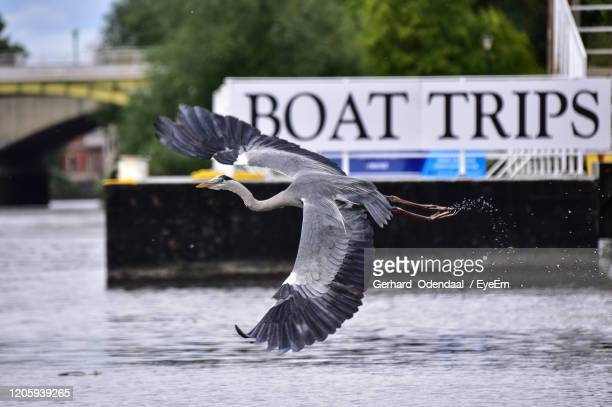bird flying over the water - eagles london stock pictures, royalty-free photos & images