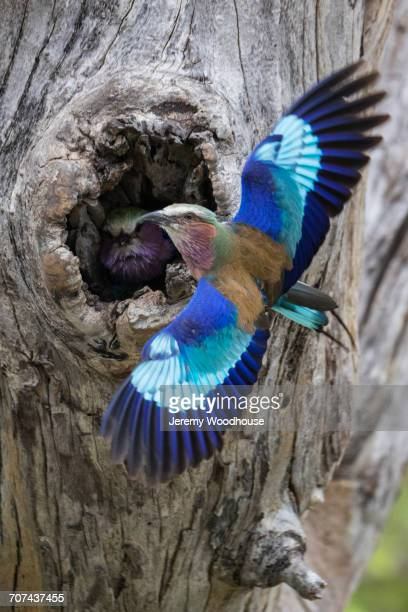 Bird flying to hole in tree