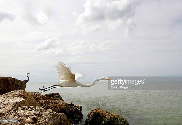 A bird flys off a rock October 20 2005 on Sanibel Island Florida Hurricane Wilma continues to churn in the Gulf of Mexico and might make land fall in...