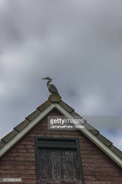 Bird, gray heron on the roof, Spalding, UK.Photo:Jaimanuel Freire