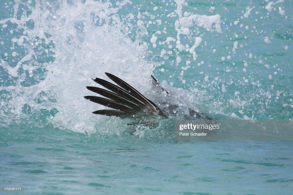 Bird Hunting In Sea : Photo